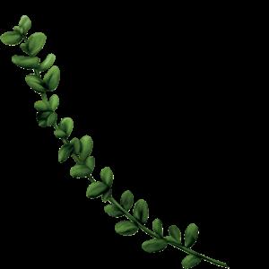 Seedlip Ingredient Thyme