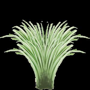 Seedlip Ingredient LEMONGRASS