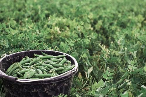 Bucket Peas
