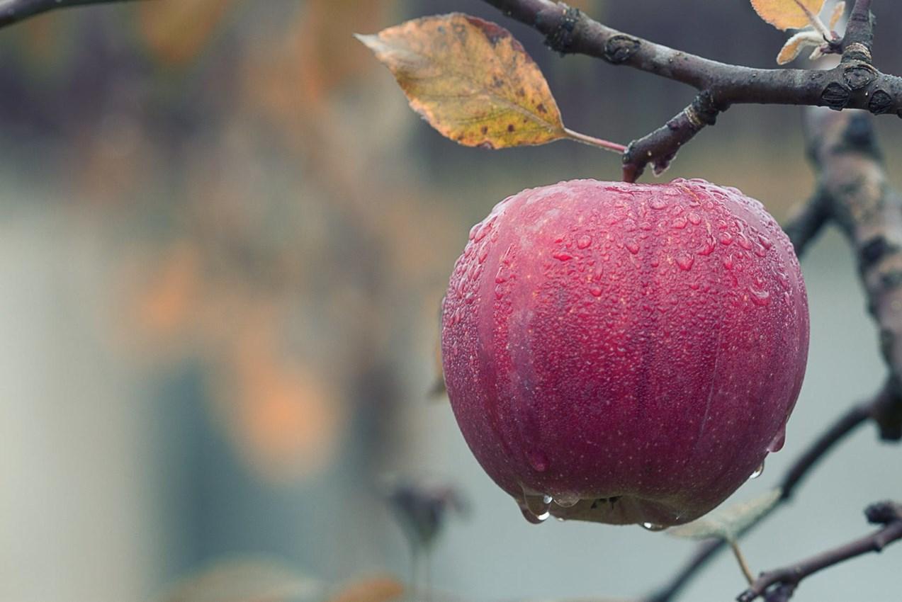 Apple on Tree.jpeg