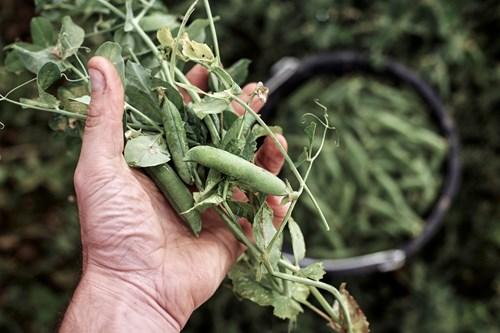 Handful of Peas