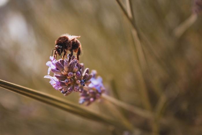 Pollinator bee on lavender.jpg